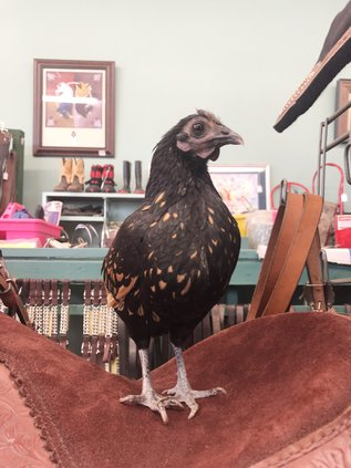 Raven the Chicken 2 (Web).jpg